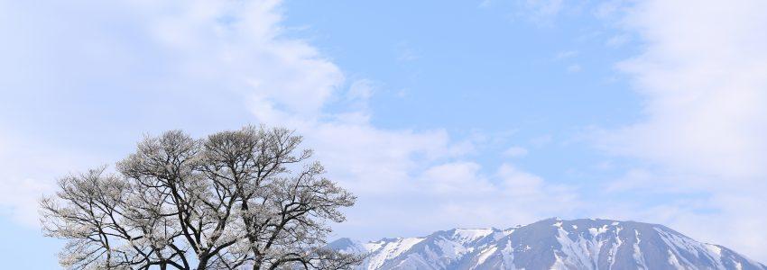 小岩井農場の一本桜の写真で下敷きを作りました!