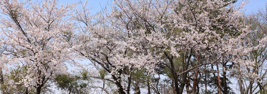 桜の季節・・・学校の文集